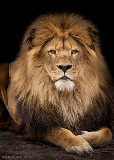 Behold, the Loin of the tribe of Judah,the Root of David has prevailed to open the scroll and to loose it's seven seals Revelation 5:5