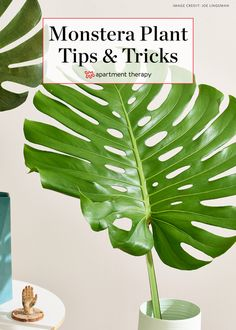 Monstera Deliciosa: Growing, Care and Propagation Tips | Monstera deliciosa's iconic, split leaves are so pretty that they've been featured extensively in art and design, but even more stunning is the plant itself