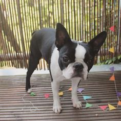 Happy First Birthday to Lola the Boston Terrier from Holland! - Photo 2