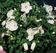 A hint of pink on this white Vintage Splash Pinto Grigio Hibiscus.  Just beautiful  http://www.oceanstatejoblot.com/product/indexGrid4Y.php