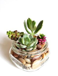 Container Gardening Mason Jar with Succulent Plants - 8 oz - Each 8 oz mason jar comes with a minimum of one life succulent plant and your choice of decorative fill. You can choose to have anywhere between Mason Jar Succulents, Succulents In Containers, Cacti And Succulents, Planting Succulents, Planting Flowers, Plants In A Jar, Mason Jar Plants, Small Cactus Plants, Mason Jar Terrarium