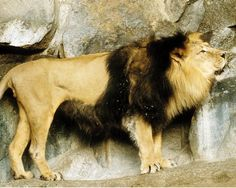 The last of the now extinct Cape Lion, was shot here in 1857 and Private Schultz,  during the Anglo-Boer War.