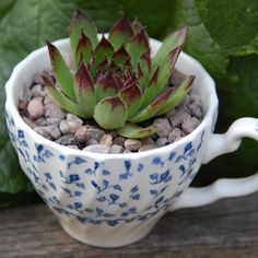 Time for tea?  Little teacups planted with succulents make a quirky decoration for a garden table or playhouse.