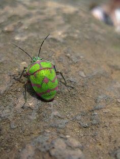 Unknown Shield Bug  Pentatomoidea