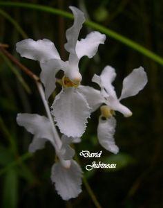 Hocoglossum subulifolium