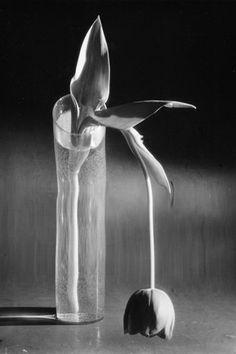 Andre Kertesz: 'Melancholic Tulip', New York, Gelatin silver print, printed 1981 by Igor Bakht Image: × cm × 9 in. Andre Kertesz, History Of Photography, Still Life Photography, Art Photography, Flower Photography, Photography Magazine, Henri Cartier Bresson, Melencolia I, New York City