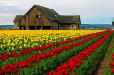 BEAUTIFUL FIELD OF FLOWERS WITH A VERY LARGE OLD BARN!