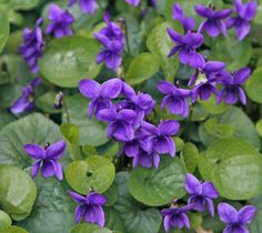Viola odorata 'Queen Charlotte' from Annie's Annuals - love this place!!