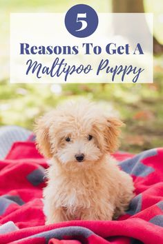 Here are 5 Reasons why you NEED a Maltipoo Puppy. The cutest, most loving dogs ever. Ranger is my best friend and at 5lbs I can take her everywhere with me! Head to styleinherited.com to read more about Maltipoo Puppies! • #styleinherited #rangerthemaltipoo #teddybeardog #teddybearpuppy #teddybear #teacuppup #teacup #puppies #apricot #maltipoo #tinydogs #cutestdogever
