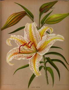 Album van Eeden : Haarlem's Flora [BHL]