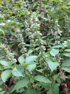 Tulsiindian Holy Basil (ocimum species): Difficult to be sure from this photograph, but it could be Tulsi, an important herb used for medicinal and religious purposes. If it is Tulsi, every part of the plant is very fragrant, its leaves, seeds, flowers, even the surrounding soil, similar to the fragrance of clove. Considered a subshrub, it can mature to 30 cm. tall with ciliated stems and simple opposite leaves. Does best in full or partial sun in well-draining soil with regular water. Do…