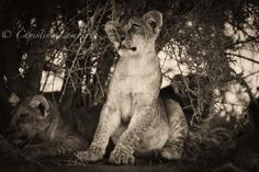 Lion cub fascinated by a tree branch. Playing in the late afternoon sun. Photo by Christine Lamberth. Lion Cub, Game Reserve, Tree Branches, Cubs, Panther, Wildlife, Photos, Animals, Bear Cubs