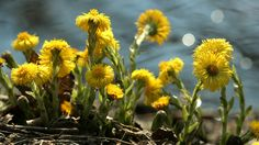 Monivuotinen leskenlehti on kevään ensimmäisiä kasveja. Kirkkaankeltaiset kukkamykeröt loistavat pälvissä, vaikka maisema ympärillä olisi vielä aivan harmaa ja luminenkin.