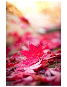 Japanese Maple Leaves Under Golden Light by SierraMtnArtPrints