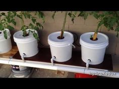 The famous versatile Hydroponic Dutch Bucket System is built to grow a large number of plants from green vegs to vining and large plants. Let's dig into it plants best Dutch Bucket / Bato Bucket Hydroponic System Hydroponic Tomatoes, Hydroponic Farming, Hydroponic Growing, Growing Plants, Hydroponic Plants, Aquaponics System, Aquaponics Diy, Compost, Organic Gardening