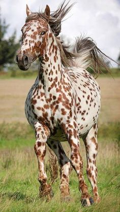 Appaloosa I always wanted one of these! Ever since I saw the movie, Run Appaloosa, Run! All The Pretty Horses, Beautiful Horses, Animals Beautiful, Beautiful Freckles, Beautiful Images, Caballos Appaloosa, Appaloosa Horses, Amazing Animals, Cute Animals