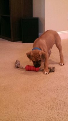 Mr. Captain Axel...my new 8 week old boxer/ ridgeback puppy