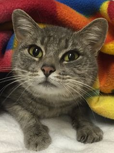 Angel is a 1-year-old petite gray tabby with big green eyes who loves to be held and cuddled. She is tolerant of other cats once she gets to know them, but prefers a home without dogs. Angel is spayed and vaccinated. Fee is $50. Apply with Another Chance Animal Welfare League Adoption Center at www.acawl.org. Call 547-7387. Go to www.redding.com for more adoptable pets.