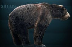 Arctodus, American giant short faced bear, late Pleistocene Ice Age. 6' tall at the shoulder, 13' tall if standing on its hind legs, about 1400 pounds.