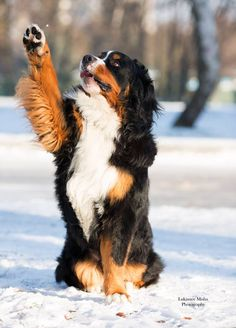 Bernese Mountain Dog. By Misha Lukianov.