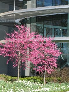 Redbud 'Appalachian Red'. Cercis canadensis. Bright pink instead of mauve.