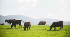 Cows Grazing On Pasture #Agricultural, #Agriculture, #Animal, #AnimalsFeeding, #Beef, #Black, #Brown, #Bull, #Cattle, #Cloud, #Cow, #DairyFarm, #Domestic, #DomesticAnimals, #Drove, #MacroMedia http://goo.gl/wzm96Z
