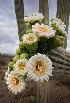 you could say it took these saguaro flowers hundreds of years to bloom