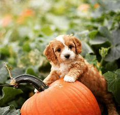 This sweet dood in the punkin patch ; Puppies For Sale, Dogs And Puppies, Corgi, Sweet, Animals, Candy, Corgis, Animales, Animaux