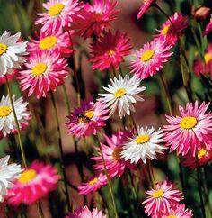 Květiny k sušení | Flóra na zahradě