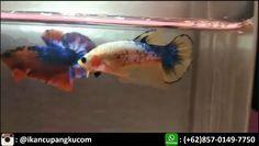 10 Jual Ikan Cupang Plakat Koi Ideas Fish Pet Cupang Fish