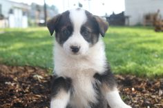 Australian Shepherd Mix Puppies For Sale In Oxford Pa.  These puppies are a cute mix of a  Australian Shepherd and are family raised with children. These puppies are vet checked and have their shots, worming and a health guarantee. Call 717-951-3075   http://www.cutepuppiesforsaleinpa.com/