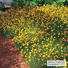 Creeping Gold Buttons - Cotula 'Tiffindell Gold'