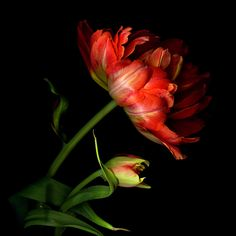 One Million Tulips Exotic Flowers, Amazing Flowers, Red Flowers, My Flower, Flower Art, Black Background Photography, Parrot Tulips, Spring Bulbs, Flower Pictures