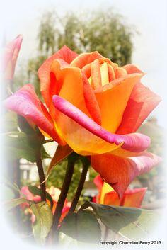 Orange wonder by Charmian S Berry