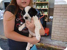 Oakdale, LA - Blue Heeler Mix. Meet Pandora, a puppy for adoption. http://www.adoptapet.com/pet/12906498-oakdale-louisiana-blue-heeler-mix