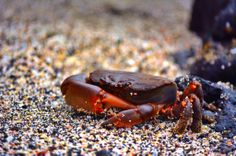 Stone crab on the island of Isabella #Nature #Photography #landscape #Travel #galapagos #sand #beach