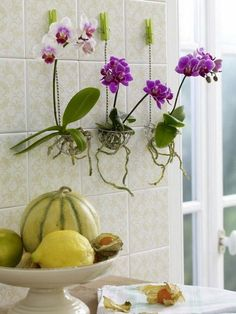 Many of us want to be experts at growing orchids at home. By knowing how to grow orchids with a few simple tips, you can grow orchids like a professional. Orchids are gorgeous exotic flowers that are relatively simple to… Continue Reading → Indoor Orchids, Orchids Garden, Indoor Plants, Potted Plants, Succulent Plants, Hanging Orchid, Diy Hanging, Hanging Plants, Orchid Roots