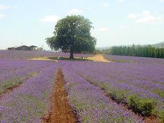 Lavender… Why is Bridestowe So Popular?