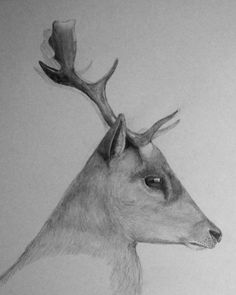 Fallow deer in pencil by Audrey Haney