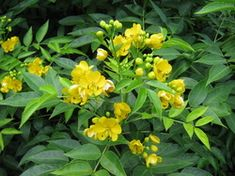 BOTANICAL NAME : Senna species. Formerly known as Cassia, Commonly called the Buttercup Bush, Senna is a large genus of flowering plants in the family ...