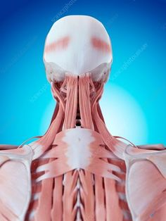 Human neck and back anatomy - Stock Image - - Science Photo Library Muscular System, Muscle Anatomy, Muscle Body, Anatomy And Physiology, Head And Neck, Neck Pain, Human Anatomy, Massage Therapy, Physical Therapy