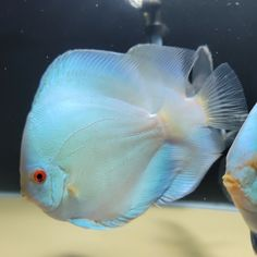 """Blue Diamond Discus Fish 6"""" currently in Quarantine at Discus America, discus fish store in Las Vegas Nevada. Our website will be updated with the available discus fish after the quarantine. Discus Aquarium, Discus Fish, Nevada, Las Vegas, Exotic Fish, Sea Creatures, Fresh Water, Website, Diamond"""