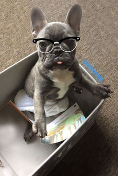 """It's not what you think""... ""ok it's exactly what you think!"", Blue NJY, the funny French Bulldog Puppy ❤"