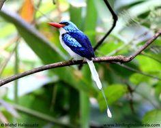 Biak Kingfisher endemic to Biak island - Cenderwasih Bay