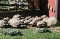 I have seen numerous suggestions for Russian tortoise diet Some great Some awful. Russian Tortoises are nibblers and appreciate broad leaf plants. Tortoise As Pets, Red Footed Tortoise, Tortoise House, Tortoise Food, Tortoise Habitat, Turtle Habitat, Sulcata Tortoise, Tortoise Care, Tortoise Turtle