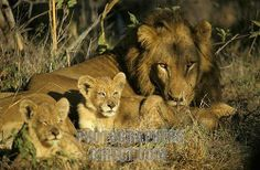 MALE AND TWO CUBS PICTURE | male lion resting with two cubs mala mala , sabi sand game reserve ...