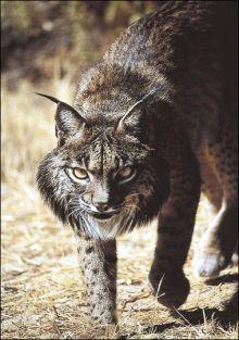 ネコ科で初。スペインオオヤマネコ、50年以内に絶滅の恐れ。英研究発表。 - NAVER まとめ