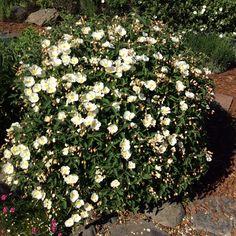 Cistus, or rock rose