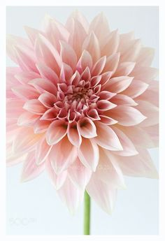 Cafe au lait dahlia by AlysonFennellPhotography Macro Flower, Dahlia Flower, My Flower, Flower Art, Growing Dahlias, Beautiful Flowers Wallpapers, Passion Flower, Flower Aesthetic, Botanical Flowers