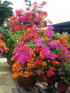 100 free shipping mix color Bougainvillea balcony pots, bonsai courtyard very colorful flowering plants, Floriferous Hardy Plant - please click here to see more in 100 Giant Hibiscus Flower Seeds Hardy, Mix Color, DIY Home Garden potted or yard flower bonsai from Aliexpress.com   Alibaba Group